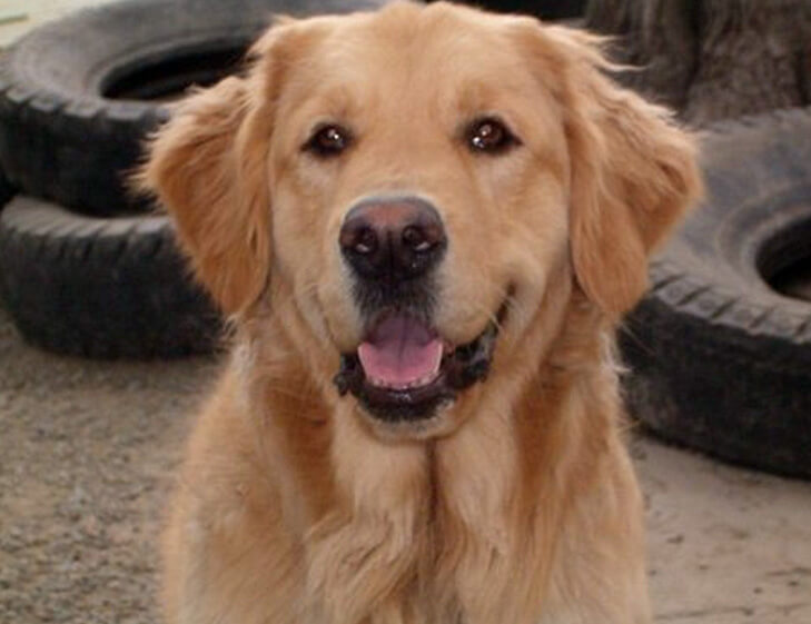 Truxton suffered from autoimmune hepatitis, a condition that is unusual in dogs, and especially rare for his breed, Golden Retriever.